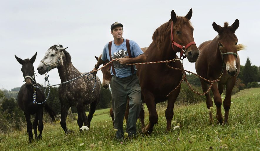 Donn Hewes leads his work horses back toward the stables from the pasture at The Northland Sheep Dairy Farm in Marathon, N.Y., Wednesday, Sept. 10, 2014. (AP Photo/Heather Ainsworth)
