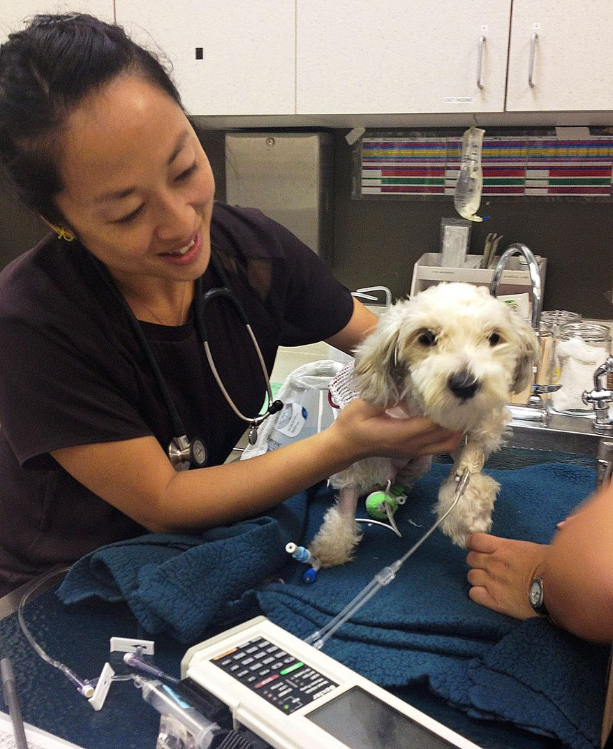 In this photo provided by ACCESS Specialty Animal Hospitals, veterinarian Dr. Annie Lo examines Gordo, the dog struck and injured by a van fleeing from police, the day after surgery on his injured hind leg at City Of Angels Veterinary Specialty Center in Culver City, Calif., Friday, Sept. 19, 2014. Hospital spokeswoman Shannon Brown says Gordo is doing well and resting comfortably since his surgery Thursday afternoon. The driver of the stolen van that struck the dog during the wild, televised police chase, 21-year-old Yovani Rodriguez, was sentenced Friday after pleading guilty to taking a vehicle without consent, fleeing police while driving recklessly and hit-and-run. (AP Photo/ACCESS Specialty Animal Hospitals)