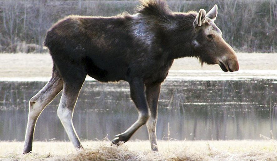 This undated photo provided by the Vermont Fish and Wildlife Department shows a moose with hair loss on its back. Maine, New Hampshire and Vermont are all issuing fewer moose hunting permits this year, and officials in all three states say they had to reduce permits because of the impact of ticks.  (AP Photo/Vermont Fish and Wildlife Department)