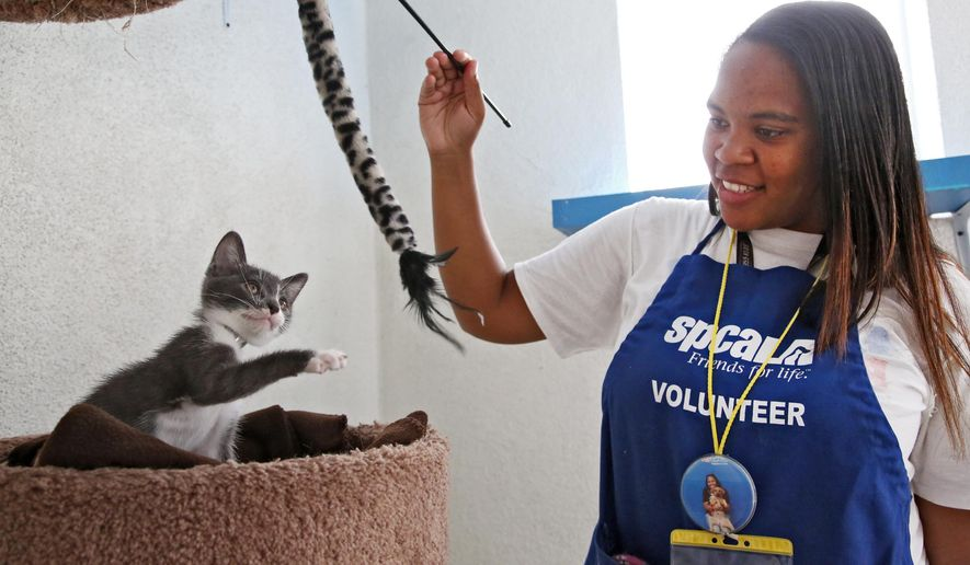 "In this Sept. 5, 2014 photo, Jourdan Giron, of Lawndale, Calif., a shelter volunteer at the Los Angeles SPCA adoption center, plays with a kitten at the center. Giron, who turns 21 this month, is new to the volunteer corps. She signed up in February for eight hours a month, said services manager Elise Thompson. But she's put in more than 325 volunteer hours _ well over the 64 promised. ""I'm just happy being here and I don't want to leave,"" Giron said. (AP Photo/Nick Ut)"