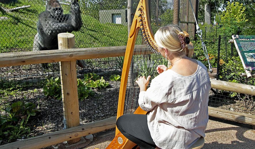 In this Aug. 27, 2014 photo Terri Tacheny plays her harp as one of the gorillas stood nearby outside the Primate House at Como Zoo in in St. Paul, Minn. Tacheny, 57, a zoo volunteer, plays once a month for an appreciative audience that ambles down to their barrier as soon as Tacheny begins setting up her harp. She's been doing it for nearly a decade. (AP Photo/The Star Tribune, Elizabeth Flores)