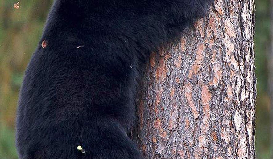 Tranquilizer dart ends black bear's school visit - Washington Times
