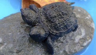 It this photo made Thursday, Sept. 25, 2014, a two-headed snapping turtle sits on a rock in Hudson, Maine. Kathleen Talbot, of Hudson, found the baby reptile earlier in the week while she was watching hatchlings cross the road to make sure they arrived safely at the other side. (AP Photo/WLBZ-TV, Dan Frye) ** FILE **