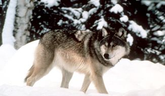FILE - This undated file photo provided by Yellowstone National Park shows a wolf walking through the snow in Yellowstone National Park in Wyoming. The U.S. Fish and Wildlife Service and a group of pro-hunting groups are joining with the state of Wyoming in asking a federal judge to reverse last week's order that reinstated federal protections for wolves in the state. (AP Photo/Yellowstone National Park, File)