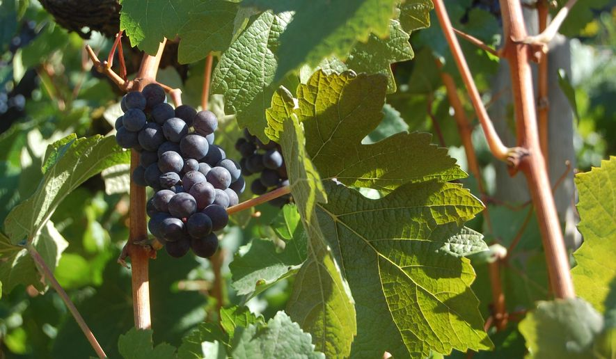 This Sept. 20, 2014 photo shows pinot noir grapes on a vine at the Willamette Valley Vineyards in Turner, Ore. The annual Grape Stomp draws hundreds of people to this winery on a hilltop to smash leftover grapes. Their goal: Get more juice in the bucket than the next guy. (AP Photo/Molly Hottle)