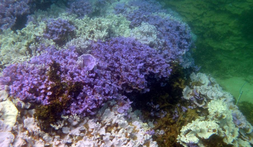 This 2014 photo provided by the National Oceanic and Atmospheric Administration and the Hawaii Institute of Marine Biology shows bleached coral at Lisianski Island in the Papahanaumokuakea Marine National Monument. The pale coral is bleached due to thermal stress, while the lavender-colored coral is healthy. (AP Photo/NOAA and the Hawaii Institute of Marine Biology, Courtney Couch)