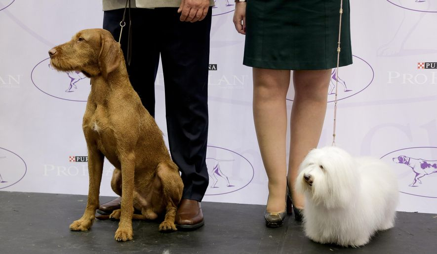Falko, left, a wire-haired vizsla, and Luna, a cotton de tulear, pose on stage with their owners during a news conference, Tuesday, Sept. 30, 2014, in New York. The Westminster Kennel Club announced that the two breeds will be eligible to compete for the first time in the New York show next February. (AP Photo/Julie Jacobson)