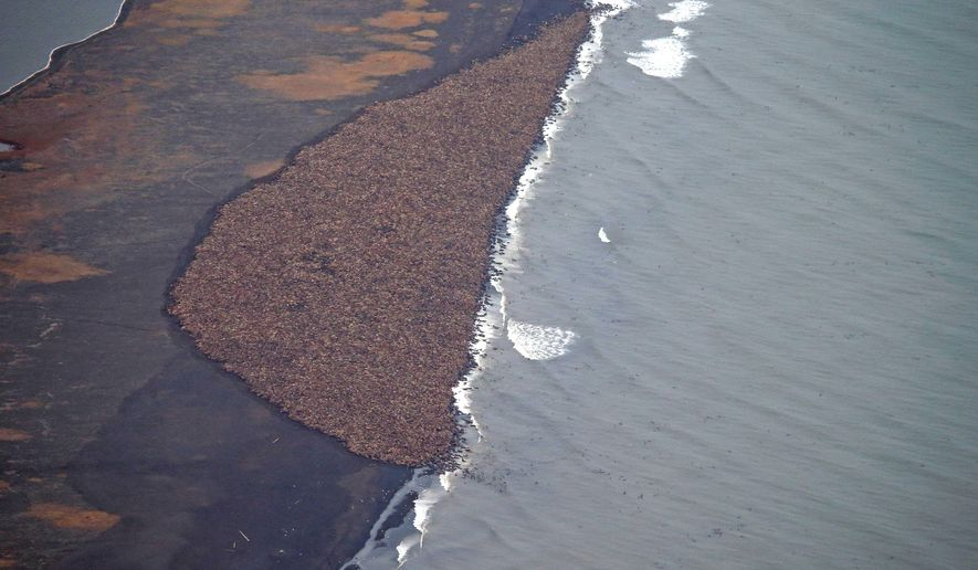 In this aerial photo taken on Sept. 27, 2014, and provided by NOAA, some 35,000 walrus gather on shore near Point Lay, Alaska. Pacific walrus looking for places to rest in the absence of sea ice are coming to shore in record numbers on Alaska's northwest coast. The National Oceanic and Atmospheric Administration confirms an estimated 35,000 walrus wer  photographed Saturday about 700 miles northwest of Anchorage. The enormous gathering was spotted during NOAA's annual arctic marine mammal aerial survey. (AP Photo/NOAA, Corey Accardo)