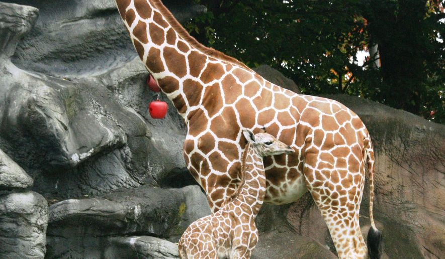 "In a photo provided by the Detroit Zoo, a newborn giraffe calf is seen next to 5-year-old Kivuli at the zoo in Royal Oak, Mich., Wednesday, Oct. 1. 2014. The zoo says the reticulated giraffe was born Tuesday evening following a 15-month gestation. The father is 6-year-old Jabari. The zoo says the yet-to-be-named calf was born outdoors in the giraffe habitat and took its first steps about an hour after its birth. Scott Carter, Detroit Zoological Society chief life sciences officer, says in a statement that it ""appears strong and healthy."" (AP Photo/Detroit Zoo, Jennie Miller)"