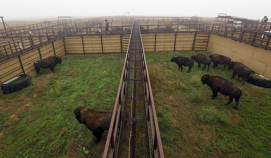 A heavy fog hangs over the buffalo corrals Monday, Sept. 29, 2014 at Badlands National Park near Wall, S.D. for the buffalo roundup. The park gathered the buffalo into the pens to reduce the herd and collect data on the animals. (AP Photo/Rapid City Journal, Chris Huber) TV OUT