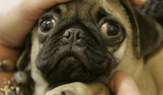 A pug puppy (Associated Press) **FILE**