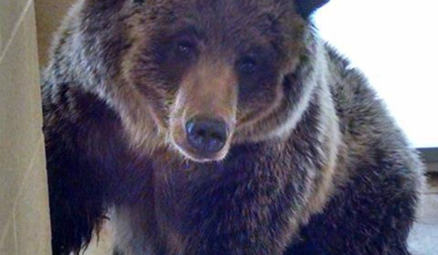 An undated photo provided by the Pocatello Zoo shows a  two-year-old female grizzly that was recently relocated to the zoo from the Shoshone National Forest in Wyoming. Members of the public have until Oct. 12 to submit potential names for the bear. Zoo staff will choose three finalist names from the submissions, and the public will have a chance to vote online, via phone and at ZooBoo starting Oct 13. The winning name will be announced on Oct. 27. (AP Photo/Pocatello Zoo)