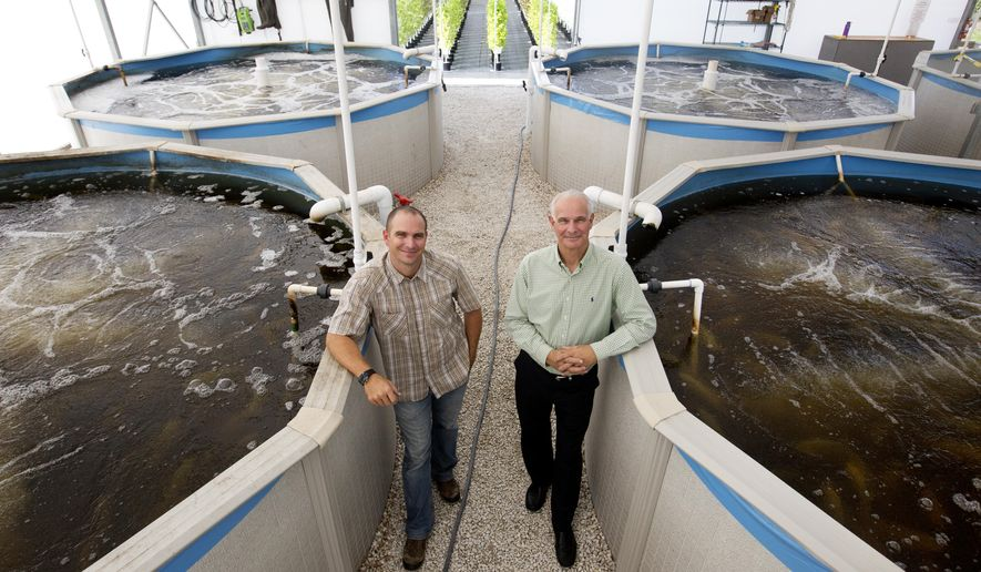 In this photo taken on Monday, Oct. 6, 2014 Tom Winrow, director of sales at Florida Urban Organics, and Gary Winrow, managing director of Selovita, the parent of company of Florida Urban Organics have built up a farm in industrial Fort Myers, Fla. They grow lettuces, micro greens and other organic greens. The waste water from these tilapia filled tanks is pasteurized and used for fertilizer. The company has received a Global G.A.P. certification. (AP Photo/The News-Press, Andrew West)  MAGS OUT; NAPLES OUT;  NO SALES