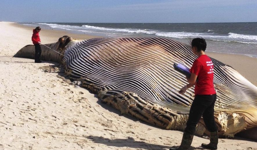 In this photo provided by The Riverhead Foundation, authorities investigate the death of a 58-foot finback whale that washed ashore on an eastern Long Island beach in Shirley, N.Y., Thursday, Oct. 9, 2014. Kimberly Durham and staff from the Riverhead Foundation for Marine Research and Preservation are investigating. Durham said a forensic examination will be conducted on Friday to seek a cause of death but there were no visible signs of injury. (AP Photo/The Riverhead Foundation)