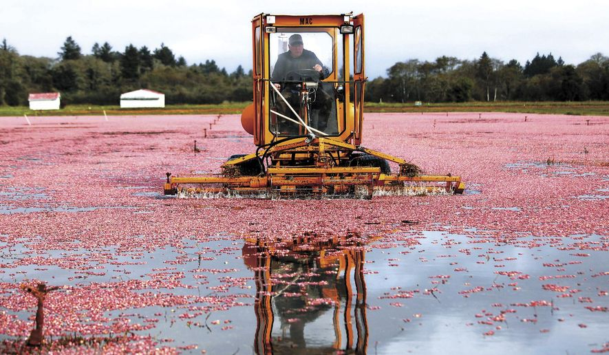 In this photo taken on Tuesday, Oct. 7, 2014, Long Beach Peninsula cranberry grower Malcolm McPhail steers his mechanical beater through the flooded bogs of his CranMac farm in Ilwaco., Wash. The beater knocks the ripe berries off their vines so they float to the surface making a sea of red before they are collected to be loaded on trucks for the trip to the Ocean Spray receiving station on the peninsula. An exceptionally warm summer has brought an exceptionally good crop to the Long Beach Peninsula's cranberry growers. (AP Photo/The Daily News, Bill Wagner)