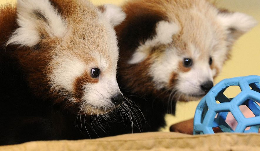 Red panda cubs examine a toy at the Lincoln Children's Zoo, in Lincoln, Neb., Tuesday, Oct. 14, 2014. The zoo has named the cubs Carson and Willa after famous Nebraskans Johnny Carson and Willa Cather. (AP Photo/The Journal-Star, Eric Gregory) LOCAL TELEVISION OUT; KOLN-TV OUT; KGIN-TV OUT; KLKN-TV OUT