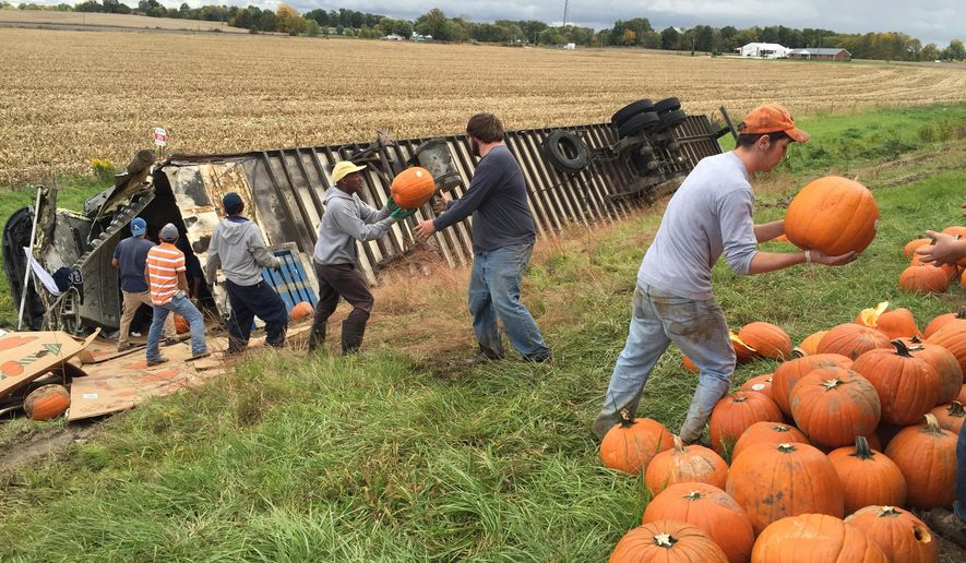 Workers form a line to off load pumpkins from an overturned semitrailer Tuesday, Oct. 14, 2014, along U.S. 41 in southern Sullivan County, Ind. Charles Hancock of Hancock Trucking said a crew of 15 people worked four hours Tuesday on moving the pumpkins from the wrecked trailer. (AP Photo/The Tribune-Star, Howard Geninger)