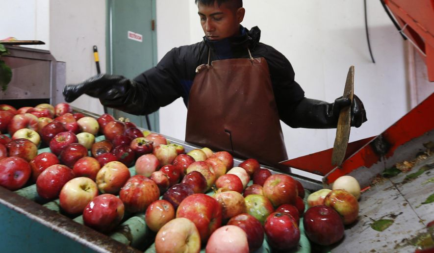 In this Oct. 14, 2014 photo, Perry Loyola sorts apples before they are pressed for juice and used for cider at Samascott Orchards in Kinderhook, N.Y. Apple growers are tapping into the hard cider revenue stream after sales of hard cider in the U.S. have tripled over the last three years to $1.3 billion in 2013. (AP Photo/Mike Groll)