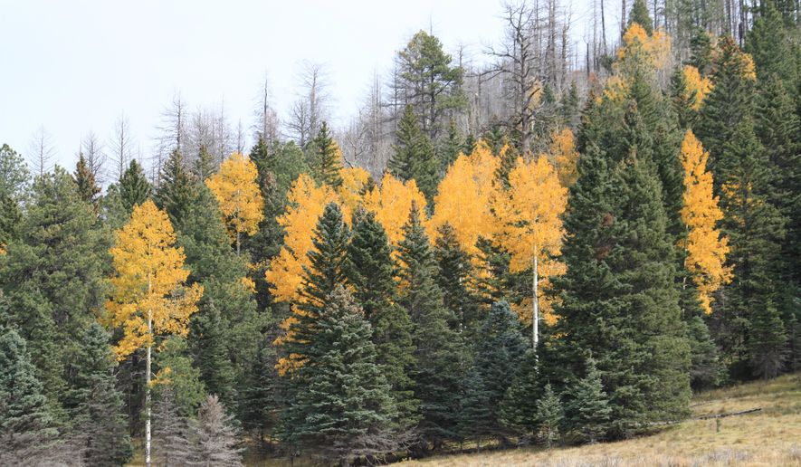 In this Oct. 17, 2014 photo, a row of aspen trees shows off fall colors on a hillside that borders the burn scar of the 2011 Las Conchas Fire near Los Alamos, N.M. Residents and land managers say this marks one of the first years that aspens in and along burn scars in the Los Alamos area are big enough and bright enough to catch the attention of fall leaf peepers. (AP Photo/Susan Montoya Bryan)