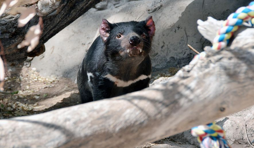 "This April, 30, 2014 photo provided by ABQ BioPark shows a male marsupial, known by keepers as ""Jasper,"" who is one of four Tasmanian devils introduced to Zoo visitors last Dec. 2013.  Keepers found Jasper dead in his outdoor enclosure on Wednesday, Oct. 15, 2014 as staff prepared to open the zoo to the public.  The killing of the rare Tasmanian devil on loan from Australia has prompted beefed-up security at the New Mexico zoo and a $5,000 reward for information leading to an arrest. (AP Photo/Raymond Watt, ABQ BioPark)"