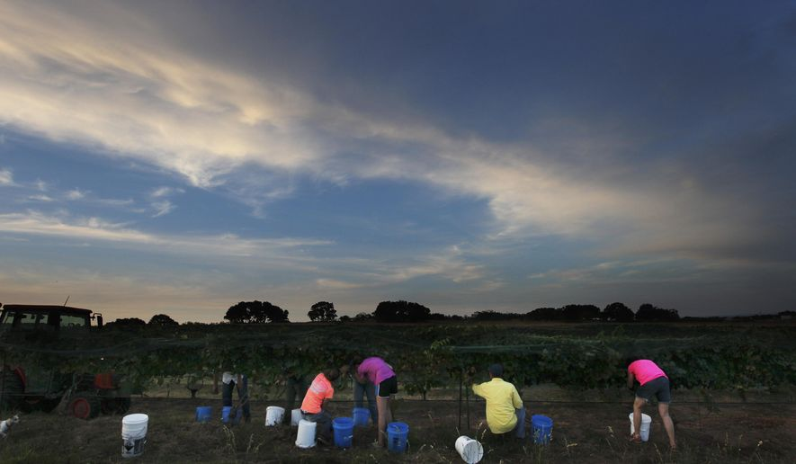 Grape grower Dan McLauglin along with the help of family and friends start in the early morning hours the process of picking grapes at his vineyard in Mason, Texas on Aug. 16, 2014. McLaughlin currently runs Robert Clay Vineyards and for the past three years has made an attempt to become a grower. (AP Photo/San Antonio Express-News, Kin Man Hui)