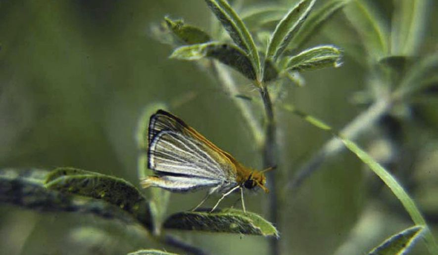 FILE - In this undated file photo provided by the U.S. Fish and Wildlife Service shows a Poweshiek skipperling butterfly in North America. The wildlife service has moved to protect both the Poweshiek skipperling  and Dakota skipper butterflies that are found in parts of the upper Midwest under the Endangered Species Act. (AP Photo/ U.S. Fish and Wildlife Service, Gerald Selby, File)