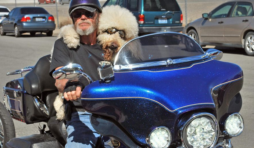 Brad Bakelar of Reno rides his Harley-Davidson motorcycle with his companion, Moki, a 5-year-old golden doodle in Reno on Oct. 11, 2014. They have become an Internet sensation. (AP Photo/The Reno Gazette-Journal, Guy Clifton)