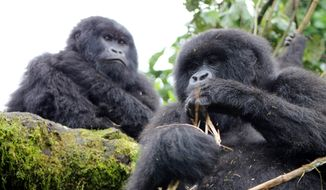 A visit with endangered silverback mountain gorillas at Volcanoes National Park in Rwanda. Photo by Adrienne Jordan