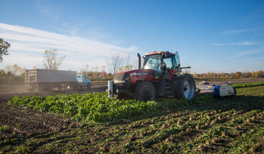 A topper from Schlicker Farms cuts the leaves off of the sugar beets to then be harvested hursday, Oct. 23, 2014 in Bay City, Mich.. This year, sugar beet farmers have grown an abundance amount of crops.  (AP Photo/The Bay City Times, Amanda Ray) LOCAL TELEVISION OUT; LOCAL INTERNET OUT