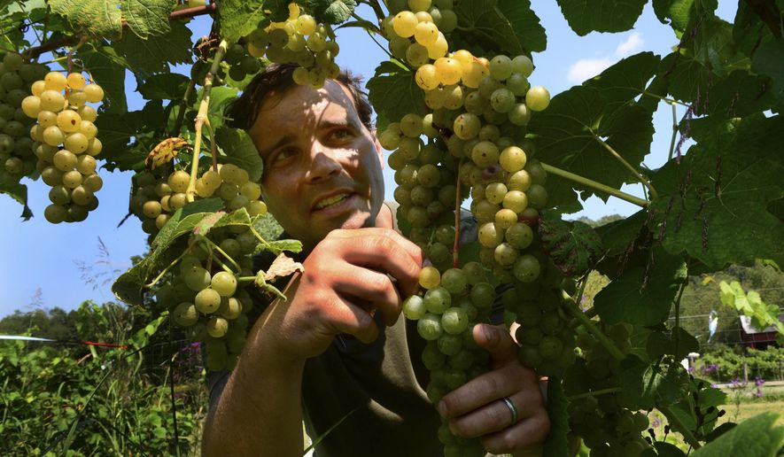 ADVANCE FOR USE SUNDAY OCT 26 AND THEREAFTER - In this photo taken on Aug. 27, 2014,  Bryan George is surrounded by grapes in his vineyard in Spencer, W.Va. (AP Photo/Charleston Gazette, Kenny Kemp)