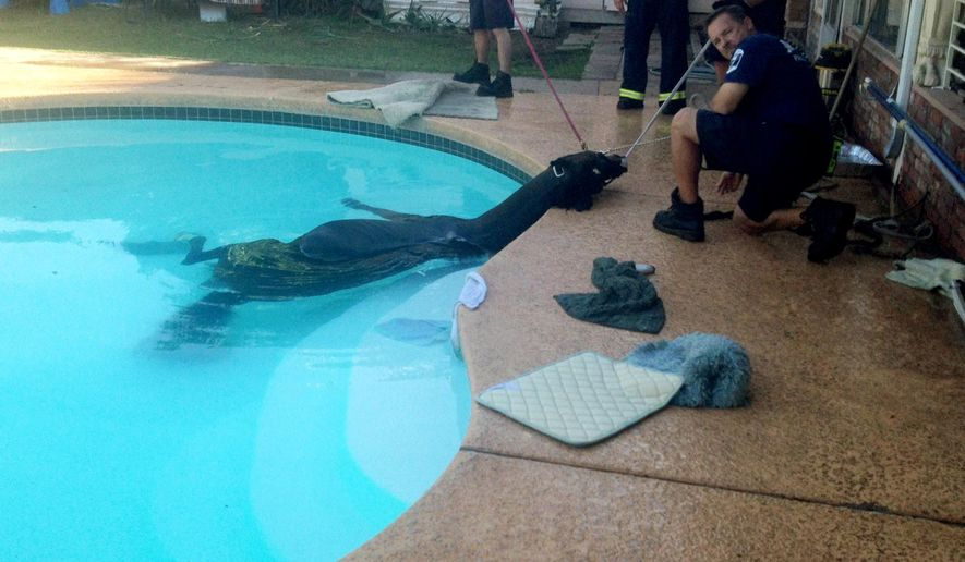 This photo provided by the Mesa Fire Department shows firefighters rescuing a Mesa family's horse from their swimming pool on Saturday, Oct. 25, 2014. Firefighters say the horse was wandering outside its pen and fell into the pool and became stuck. Mesa Fire Capt. Forrest Smith says firefighters, with the assistance of a veterinarian, tranquilized the horse before pulling it out using several straps. Smith says the horse was not injured.  (AP Photo/Mesa Fire Department)