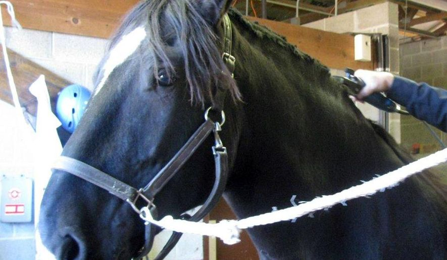 Hoosier, the newest horse in the Detroit department's mounted patrol unit, is groomed during a graduation ceremony Sunday, Oct. 26, 2014, in Detroit. Two officers also earned their spurs as new members of the horse patrol. (AP Photo/Ed White)