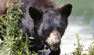 In this July 25, 2014, file photo, a black bear is seen at the Maine Willdlife Park in New Gloucester, Maine. (AP Photo/Robert F. Bukaty, File)