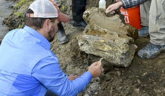 In this Oct. 16, 2014 photo provided by the Bureau of Reclamation, Idaho State University geology student Travis Helm brushes and cleans a mammoth skull discovered near American Falls Reservoir near American Falls, Idaho. A portion of a mammoth skull and tusk have been uncovered in southeastern Idaho near American Falls Reservoir. The bones have been taken to the Idaho Museum of Natural history at Idaho State University in Pocatello where they will eventually be put on display. (AP Photo/Bureau of Reclamation, Dave Walsh)
