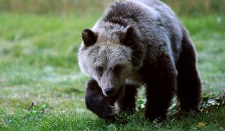In this Sept. 25, 2013 photo, a grizzly bear cub forages for food  a few miles from the north entrance to Yellowstone National Park in Gardiner, Mont.  The number of threatened grizzly bears killed in and around Yellowstone National Park has dropped sharply as officials consider lifting protections for the animals. State and federal wildlife officials were scheduled to meet Wednesday in Bozeman to review the bear's status. (AP Photo/Casper Star-Tribune, Alan Rogers)  MANDATORY CREDIT