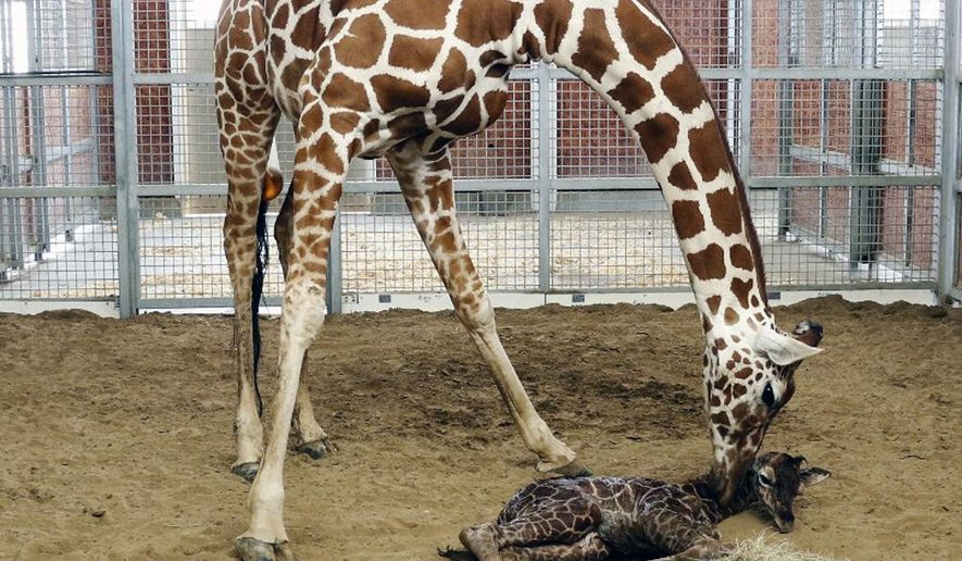 This photo provided by the Dallas Zoo shows mother Chrystal licking her newborn calf just moments after his birth encouraging him to stand and nurse, Sunday, Oct. 27, 2014  in Dallas. Zoo officials say no name has been chosen yet for the reticulated calf giraffe that already measures 6 feet tall and weighs about 120 pounds. (AP Photo /Dallas Zoo)