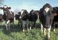 Cows USDA.jpg