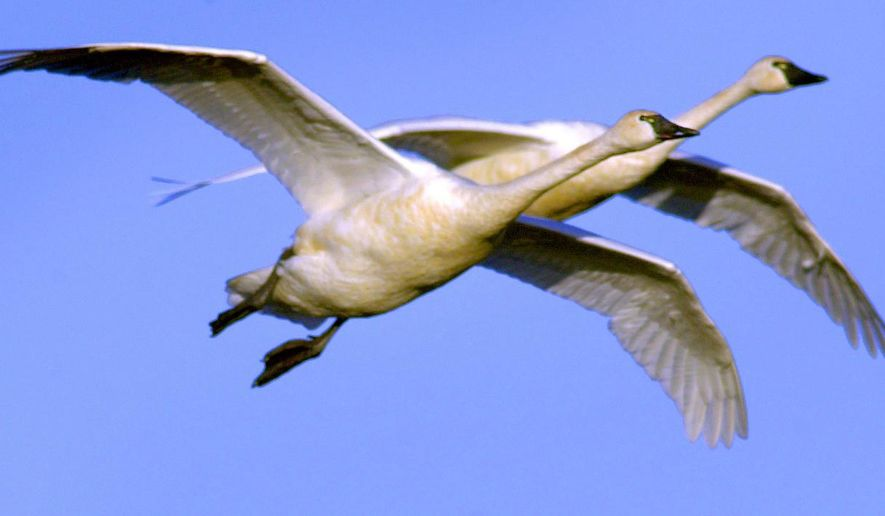 In this December 2001 photo, a pair of tundra swans come in for a landing at Rieck's Lake, north of Alma, Wis.  Formerly known as whistling swans, the birds vary in size from 4-4.5 feet long with a wing span of about 7 feet. Members of seven Chippewa Indian tribes in Minnesota, Wisconsin and Michigan are allowed to hunt for swans during a two-month season that started Saturday, Nov. 1, 2014. It represents the first legal swan hunt in the Mississippi Flyway and the first hunt anywhere that allows trumpeter swans to be legally killed. While swan lovers have been critical of the hunt, its approval shows the trumpeter's swan comeback from a population of nearly zero a few decades ago to perhaps 10,000 in Minnesota in 2014. (AP Photo/St. Paul Pioneer Press, Joe Rossi)