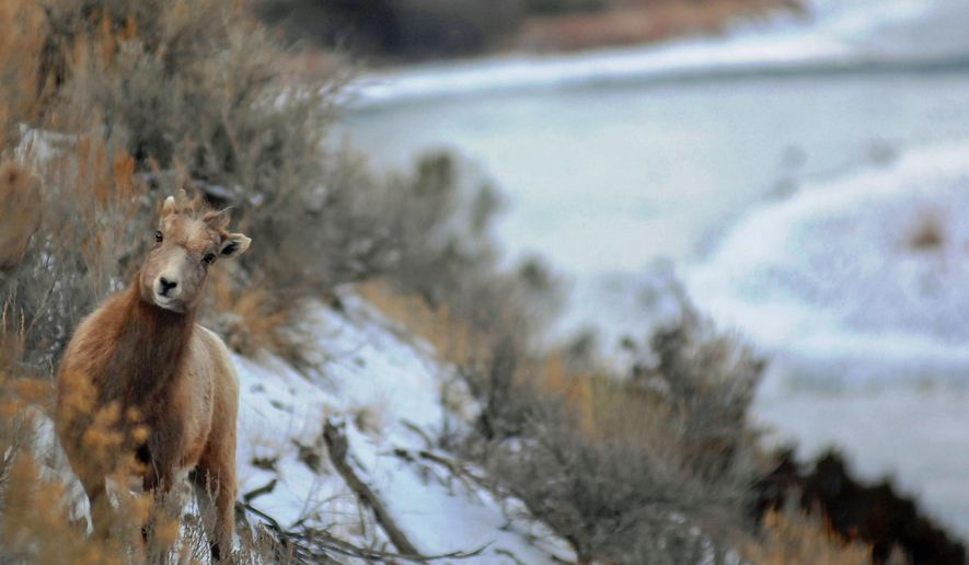 Montana's bighorn sheep plan has come under fire after a few attempts to establish new herds. Fish, Wildlife and Parks has hit roadblocks caused by sickness in transplant herds, concerns by neighboring landowners and the nearby presence of domestic sheep that carry bacteria harmful to bighorn sheep. (AP Photo/The Billings Gazette, Brett French)