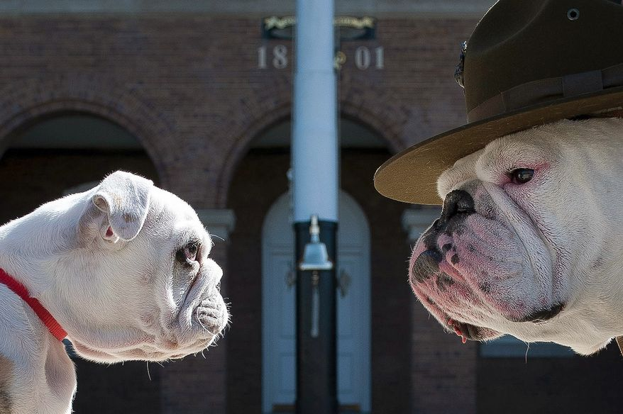 Old Corps/New CorpsSgt. Chesty XIII, official mascot of the U.S. Marine Corps, right, stares down his successor Recruit Chesty, left, during training at Marine Barracks Washington, D.C., March 20, 2013.(U.S. Marine Corps photo by Sgt. Dengrier Baez)