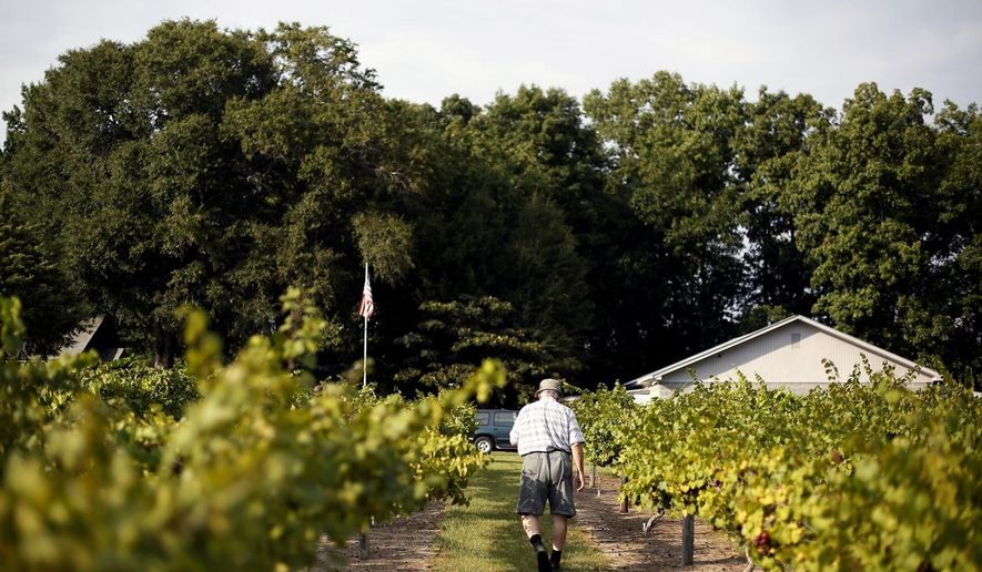 In this Aug. 23, 2014 photo, John Ward walks along the muscadine grapes on his property in Darlington County, S.C. Ward's unassuming vineyard, named Greensward, holds about 40 different types of muscadine grapes. Some are purple and some are yellow; some are football-shaped; some are used as shade for his dogs; some are better for wine making.  The vineyard is a pick-your-own operation: Because the grapes don't all ripen at the same time, muscadines have resisted mechanized harvesting.  (AP Photo/The Morning News, Veasey Conway) LOCAL TELEVISION OUT; MANDATORY CREDIT; NO SALES