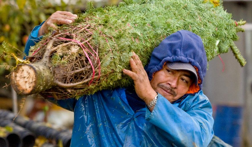 FILE- In this Nov. 12, 2009, file photo, Juan Martinez of Portland, Ore. carries a 7-foot Noble Fir Christmas tree to be shipped to Mexico from Cory Miller's farm in Eagle Creek, Ore. (AP Photo/The Oregonian, Brent Wojahn, File) MAGS OUT; TV OUT; LOCAL TELEVISION OUT; LOCAL INTERNET OUT; THE MERCURY OUT; WILLAMETTE WEEK OUT; PAMPLIN MEDIA GROUP OUT
