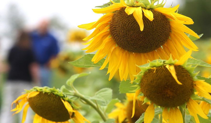 This Aug. 21, 2014 photo, sunflowers stand in an 8-acre field near Platteville High School in Platteville, Wis. The sunflower project at UW-Platteville is preparing to bottle its second batch of organic food-grade oil. The oil, however, is just the end product of a project that has sustainability, marketing, energy and even engineering at its heart.  (AP Photos/Wisconsin State Journal, John Hart)