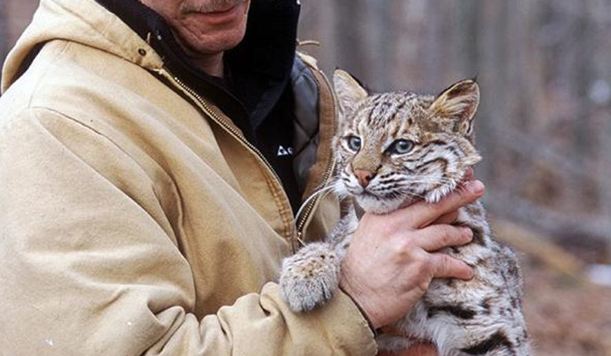 In this undated photo provided by Indiana Department of Natural Resources, nongame biologist Scott Johnson holds a bobcat in Indianapolis. State wildlife experts say the state's rebounding bobcat populations are venturing into central Indiana as the wildcats expand south from their northeastern Indiana stronghold. Conservation Officer John Gano says he's received a growing number of sightings of the secretive animals in the northern parts of Hamilton County just north of Indianapolis. (AP Photo/ Courtesy of the Indiana Department of Natural Resources, Richard Fields)