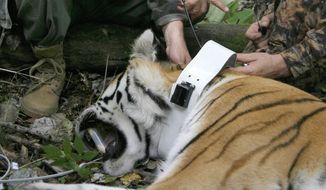 FILE - In this file photo taken on Sunday, Aug. 31, 2008, Russia's then Prime Minister Vladimir Putin locks a collar with a satellite tracker on the tranquilized five-year-old Ussuri tiger in a Russian Academy of Sciences reserve in Russia's Far East as he took a part in the national program for preserving the population of the Ussuri tiger conducted by researchers of the Russian Academy of Sciences.  A rare Siberian tiger released into the wild by Russian President Vladimir Putin is keeping farmers in northeastern China on edge. China's official Xinhua News Agency said Wednesday, Nov. 26, 2014, that the animal, named Ustin, bit and killed 15 goats and left another three missing on Sunday and Monday on a farm in Heilongjiang province's Fuyuan county. (AP Photo / RIA-Novosti, Alexei Druzhinin, Pool File)