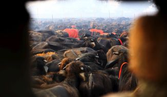 A herd of buffaloes stand before they are slaughtered during a mass sacrifice ceremony at Gadhimai temple in the jungles of Bara district, about 160 miles (100 miles) south of Katmandu, Nepal, Friday, Nov. 28, 2014. A festival believed to be the largest animal sacrifice ritual in the world began Friday in southern Nepal, where devotees believe the sacrifices bring good luck and a Hindu goddess will grant their wishes. Organizers and the authorities defend the festival held every five years as a generations-old tradition, though animal rights activists decry it as barbaric. During the 2009 festival, an estimated 200,000 animals and birds were sacrificed. (AP Photo/Sunil Sharma)