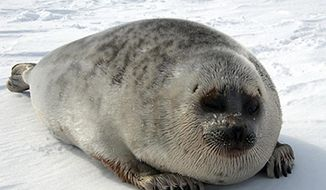 In this undated photo released by NOAA Fisheries is a ringed seal. A federal agency has proposed about 350,000 square miles of ocean off Alaska's north and west coasts as critical habitat for the seal that's the main prey of polar bears. The National Oceanic and Atmospheric Administration announced Tuesday, Dec. 2, 2014, that it's proposing much of the Bering, Chukchi and Beaufort seas within U.S. jurisdiction as critical habitat for ringed seals. (AP Photo/NOAA Fisheries)