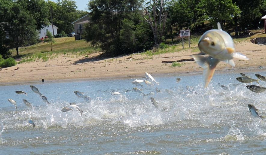 FILE - In this June 13, 2012, photo an Asian carp, jolted by an electric current from a research boat, jumps from the Illinois River near Havana, Ill., during a study on the fish's population. A city in central Illinois is deciding whether to conduct a study to determine if there would be a local market for Asian carp. The Pekin City Council will meet Monday to vote on funding for the proposal, which could pave the way for an Asian carp processing plant. (AP Photo/John Flesher, File)