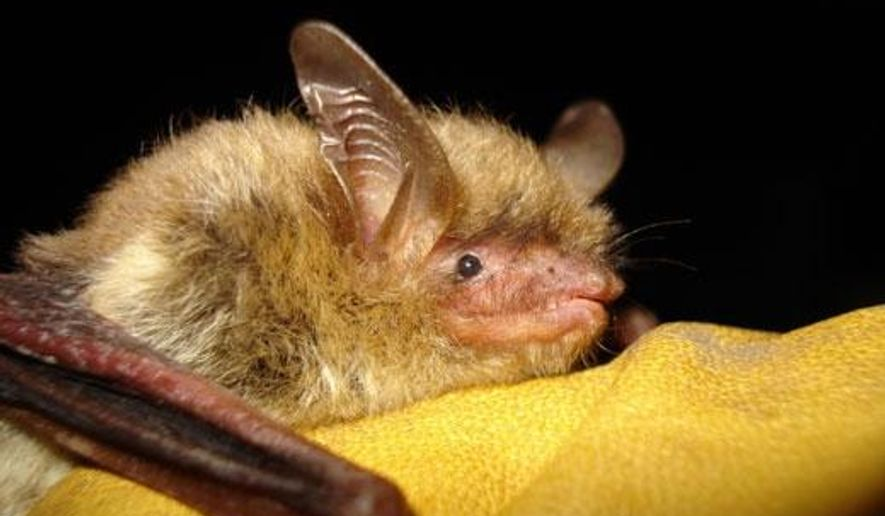 FILE - This undated file photo provided by the Wisconsin Department of Natural Resources shows a northern long-eared bat. New state rules and regulations to protect bats are restricting property owners who want the pests out of their homes. Officials at the Wisconsin Department of Natural Resources have been alarmed by bat mortality rates caused by white-nose syndrome. White-nosed syndrome attacks the skin tissue of hibernating bats and creates holes in their wings and skin membranes. (AP Photo/Wisconsin Department of Natural Resources, File)