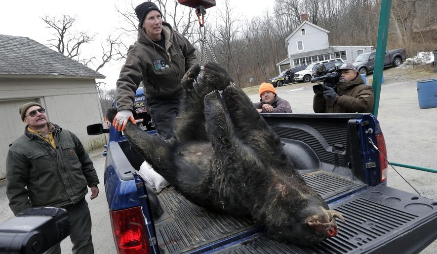 Kim Tinnes, with New Jersey's Division of Fish and Wildlife, weighs a 346 pound male bear brought to the Whittingham Wildlife Management Area for check-in on the first day of the last of New Jersey's five state-sponsored bear hunts Monday, Dec. 8, 2014, in Fredon, N.J. Wildlife officials and opponents of the hunt sparred over whether the hunt has been effective and should be renewed. (AP Photo/Mel Evans)